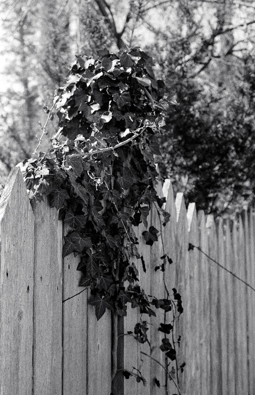 Vine on the Fence