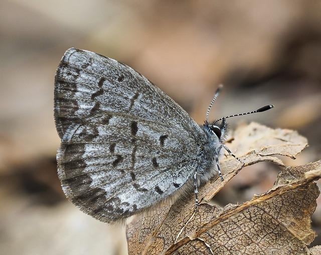 Spring Azure - Celastrina ladon (Lycaenidae, Polyommatinae, Polyommatini) 120z-5078731