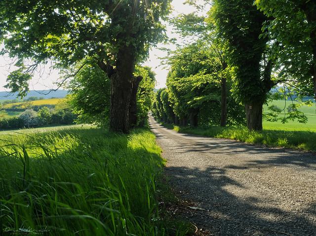 Linden tree alley near castle Sadek