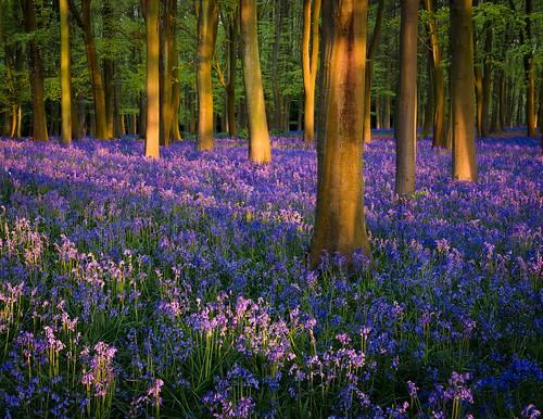 bluebells woodland spring morning light sunrise golden hour nikon d750 24120 leefilters badbury clump oxfordshire