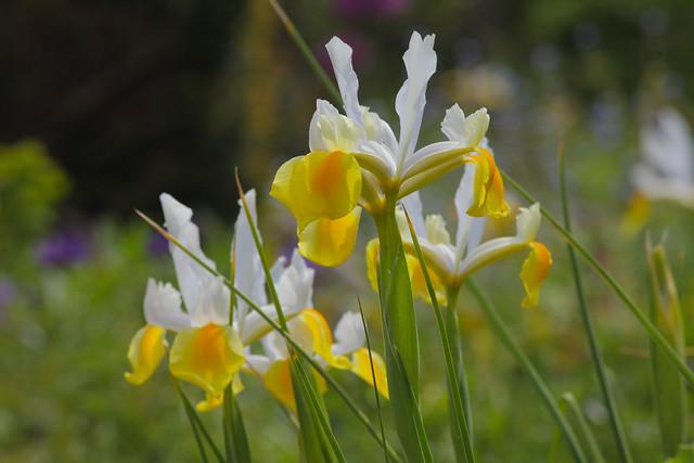 Irises... Dutch Iris Alaska
