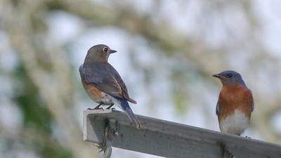 Eastern Bluebird Pair - 1 - 1