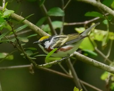 Chestnut-sided Warbler - 1 - 4