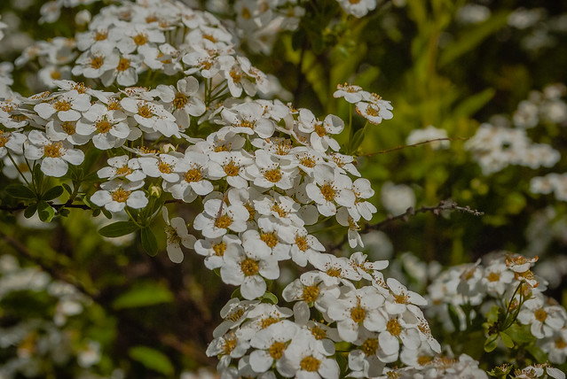 Very nice Spring blossoms  DSC_5512