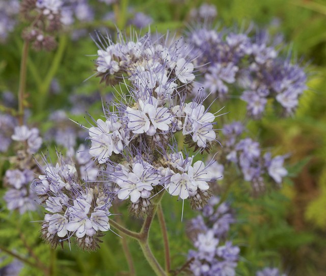 Tansy-Leaved Phacelia.