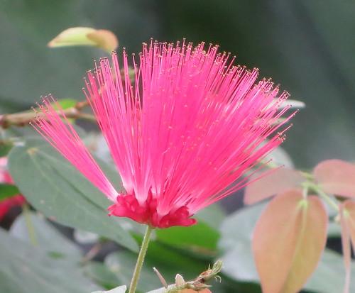 lg power puff tree blossom