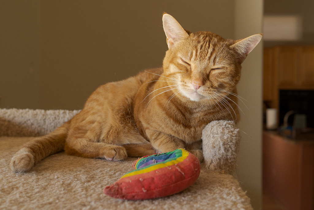 Our cat Sam sleeps against the side of the cat tree with his head up and a rainbow cat toy in front of him in May 2020