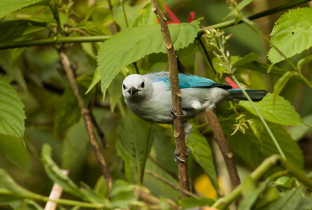 0P7A8562   Blue-gray Tanager, Panama