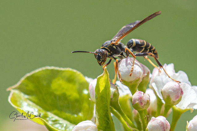 Paper wasp on pear blossoms