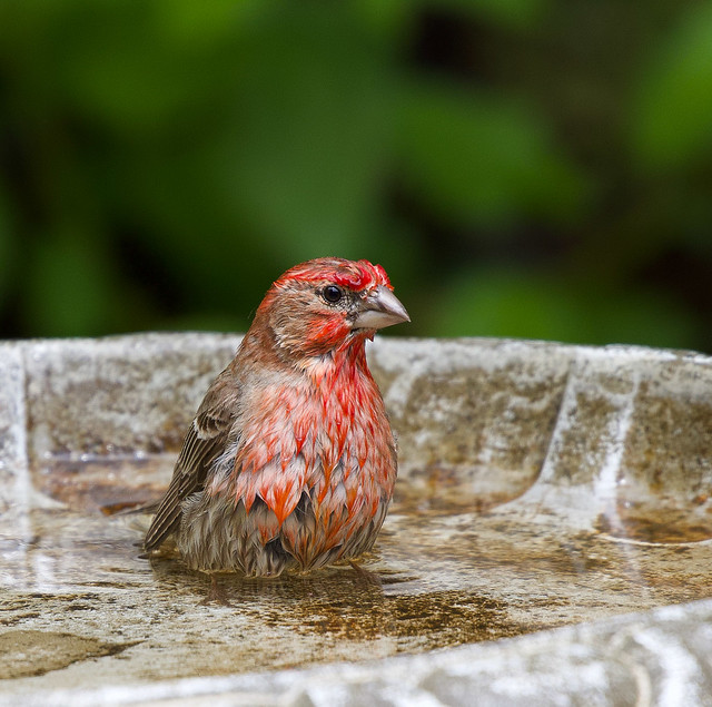 This little colorful finch caught my eye while he was taking a quick dip in my birdbath.  He was enjoying it too much to fly right away. EXPLORED 05/18/2020