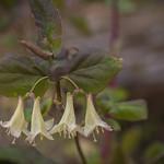 Flowering Fly Honeysuckle