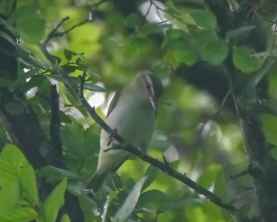 Red-eyed Vireo - 1 - 4