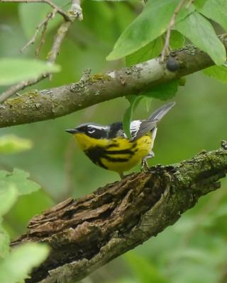 Magnolia Warbler - 2