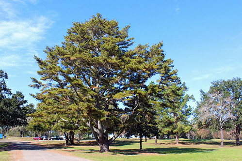 park trees pinetree landscape florida tallahassee
