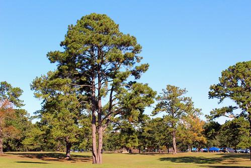 park trees landscape tallahassee pinetrees florida