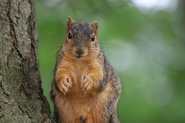 Backyard Red & Fox Squirrels (Ypsilanti, Michigan) - 137/2020 340/P365Year12 4357/P365all-time (May 16, 2020)