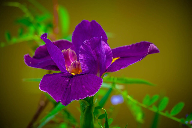 Single Purple