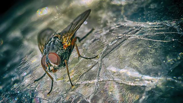 Fly closeup