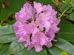 Last of the spring rhodedendron