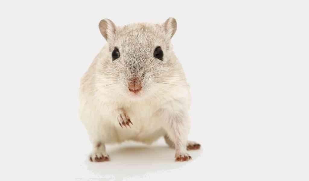 un-médicament-aide-les-souris-obèses-à-perdre-du-poids