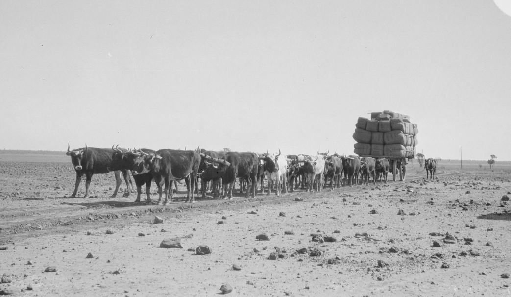 Bullock team carting wool, 1935, Rotten Plain near Cumborah, NSW