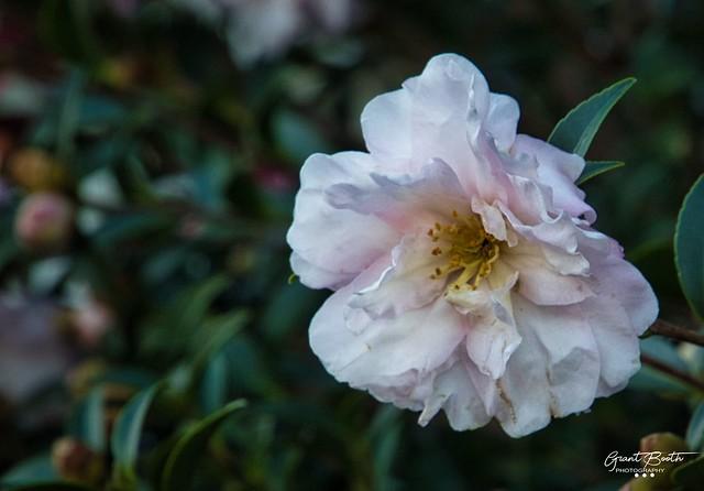 IMG_3881 Camellia L4