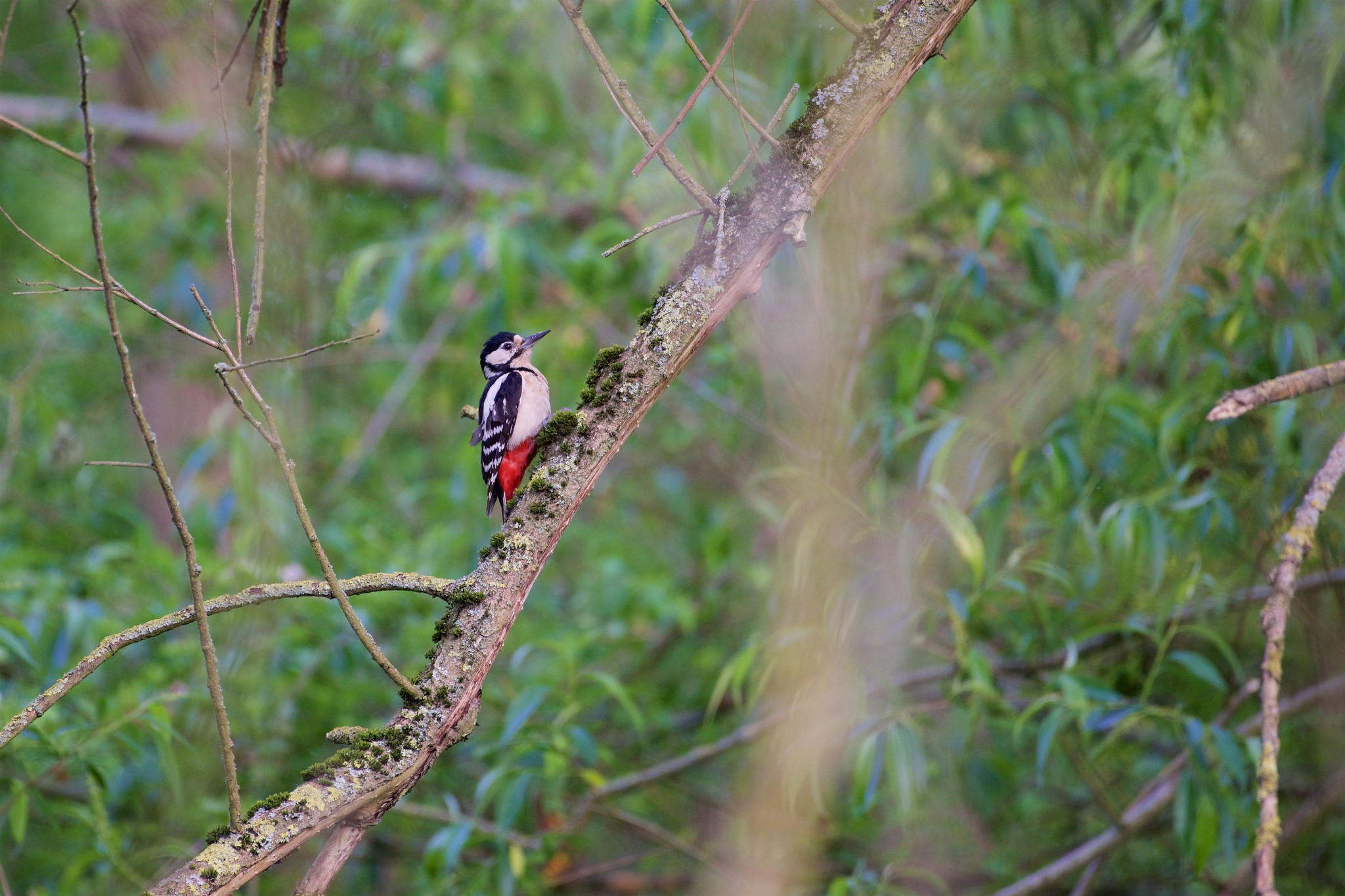 Great spotted woodpecker (कठफोड़वा) - Dendrocopos major