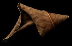 Dead Ficus Leaf