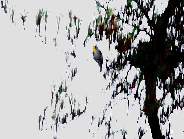 Yellow-throated Warbler in Pine Tree, Hollister, California, 05-17-20