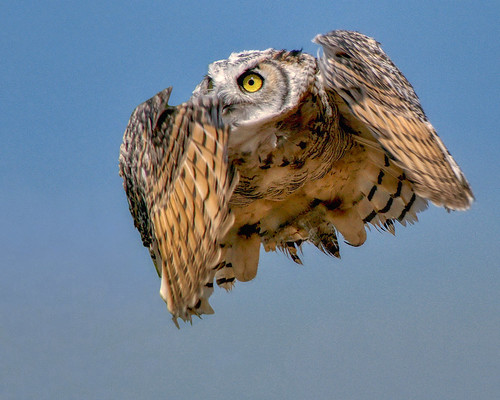 Great Horned Owl © EXPLORE