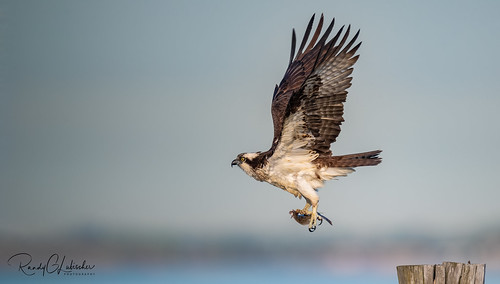 Osprey of the Jersey Shore | 2020 - 13