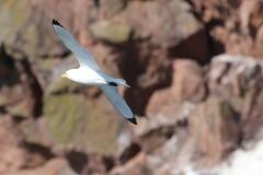 Kittiwake flying in front of cliffs