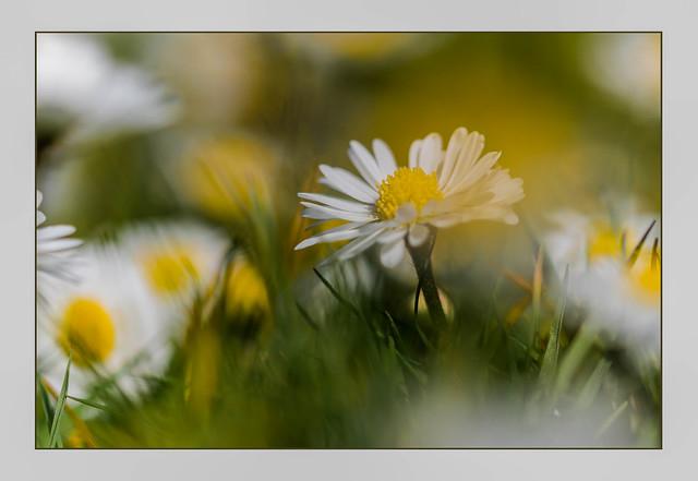 A few daisy's