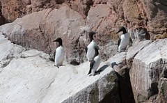 Guillemots on the cliffs at Cove