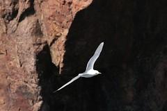 Kittiwake flying around Cove