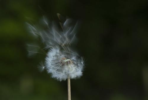 dandelion nature slowshutter seeds plant