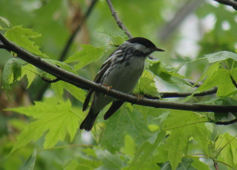 Blackpoll Warbler, finally