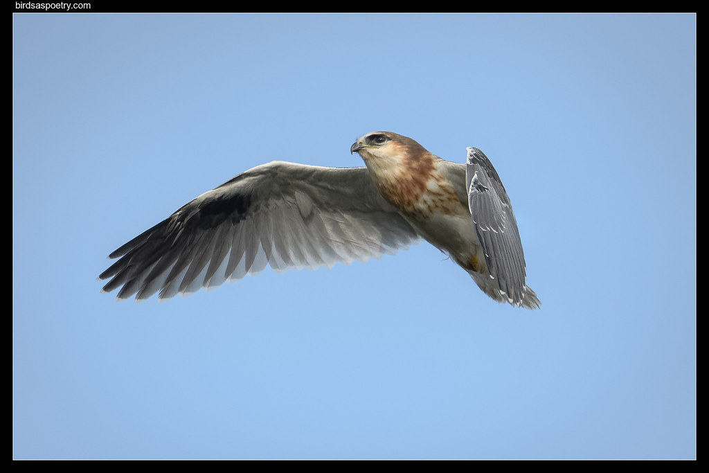 Black-shouldered Kite: First Flights