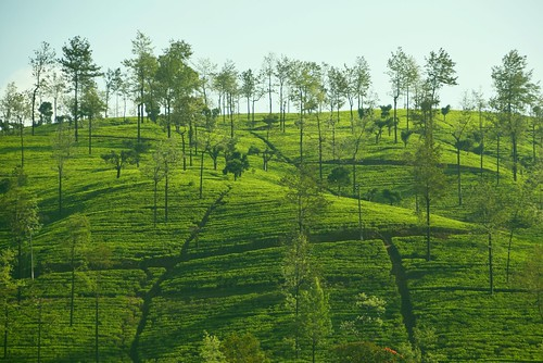 tea landscape daylight tree bush green lines hilly path