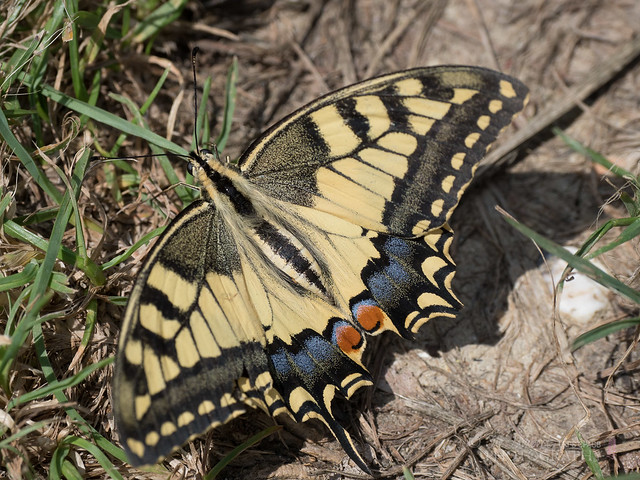 Explored!    Old World Swallowtail