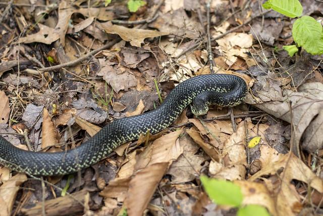 Lampropeltis nigra. Big South Fork NRRA, Scott County, Tennessee 2