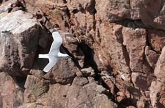 Kittiwake flying below