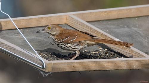 moqueurroux brownthrasher beauce pq canada 6925 moqueur oiseau bird thrasher brown nature à la mangeoire doiseaux
