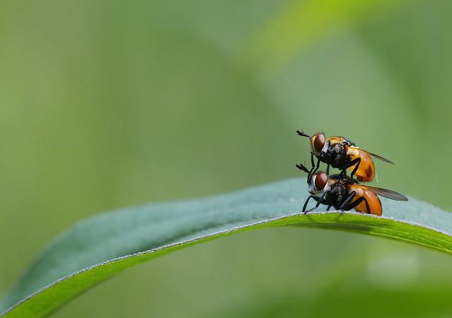 Tachinid flies // Baumwanzenfliegen (Gymnosoma sp.)