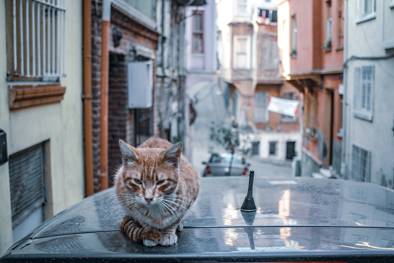 gatos-estambul-6