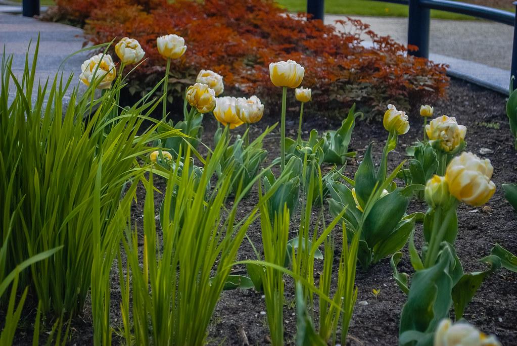 Cool tulips!! 12:17:41 DSC_5522