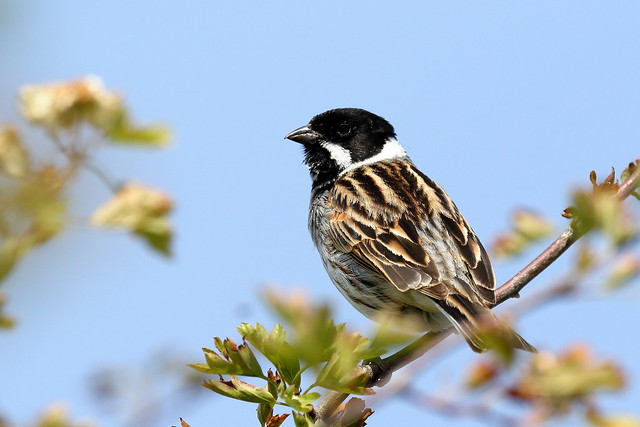 Reed Bunting (Emberiza schoeniclus) - male singing
