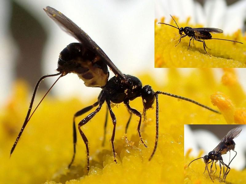 Tiny Driller. Bracon Wasp on Ox-eye Daisy, Leucanthemon vulgare, Océ-weerd, Meuse Corridor, Venlo, The Netherlands