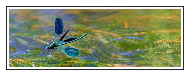 20200518_Calopteryx_007