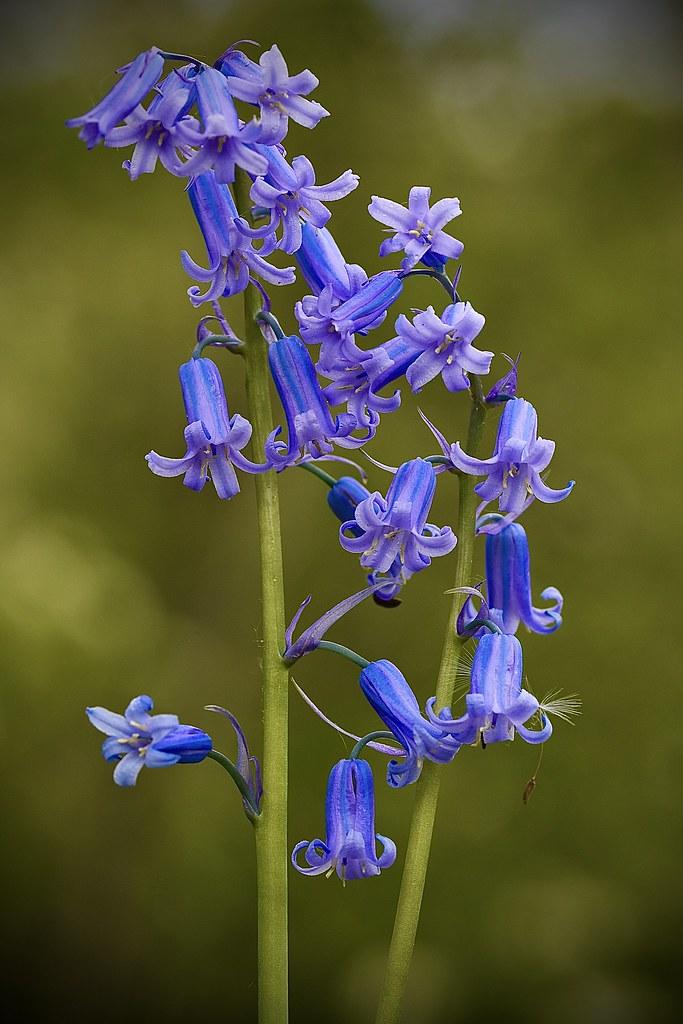 Blue bell (Hyacinthoides non-scripta)